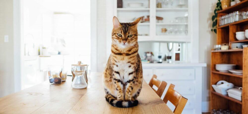 Cat sits on the table