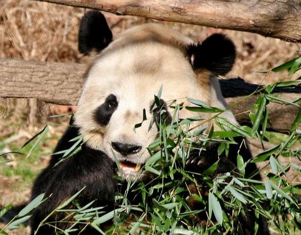 Panda at the Smithsonian National Zoological Park